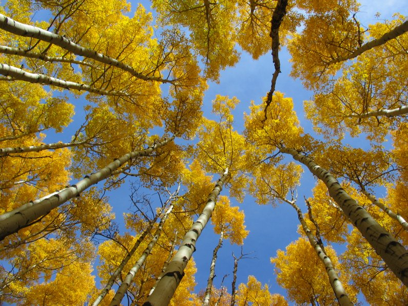 Aspens Fall Colors